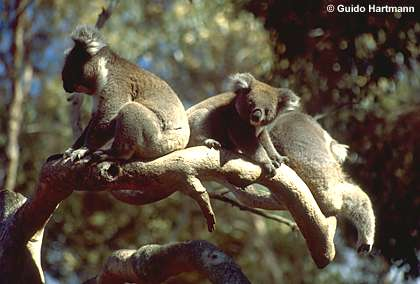 Koalas (Phascolarctos cinereus)