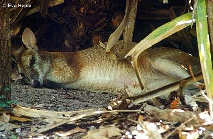Wallaby (Wallabia spec.)