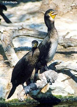 Kormorane (Phalacrocorax carbo)