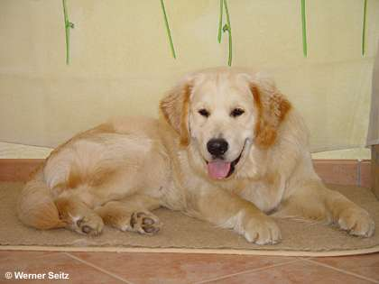 Golden Retriever Rocky