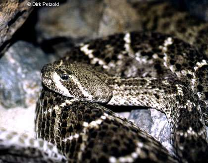 Diamantklapperschlange (Crotalus spec.)